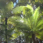 Punga ferns in Puketi forest